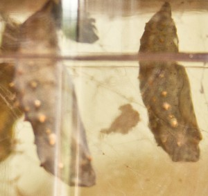 Faszinierende goldene Tupfen auf den verpuppten Raupen. Foto: Anders Balari