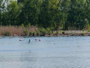 Kommt ein Flamingo geflogen...