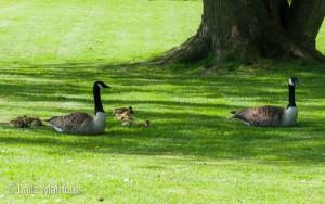 Eine Familie Kanadagänse im Grugapark