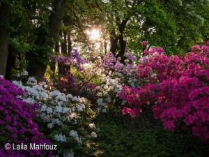 Rhododendronblüte im Abendlicht
