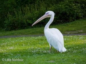 Pelikane im Grugapark in Essen: Wer hätte das gedacht?