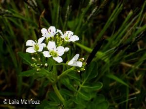 Bitteres Schaumkraut - Cardamine amara (Foto: Laila Mahfouz)