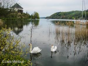 Schwäne am Mattsee (Foto: Laila Mahfouz)