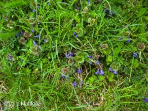 Blühende Gundelrebe - Glechoma hederacea (Foto: Laila Mahfouz)