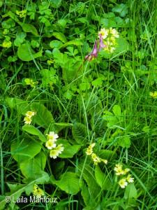 Hohler Lerchensporn - Corydalis cava und Hohle Schlüsselblume - Primula elatior (Foto: Laila Mahfouz)