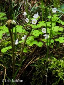 Waldsauerklee - Oxalis acetosella mit jungem Farn (Foto: Laila Mahfouz)